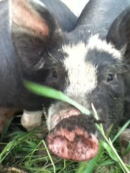Heritage Pigs