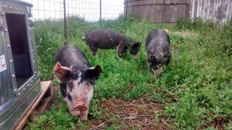 Happy Grunting Pigs